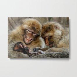 Barbary Macaques Metal Print