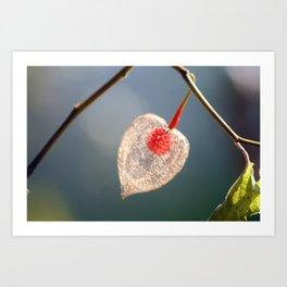 Japanese Lantern Flower Fruit Close up Art Print