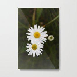 Three Daisies Metal Print