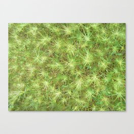 Young, green plants (grass) growing outdoor Canvas Print