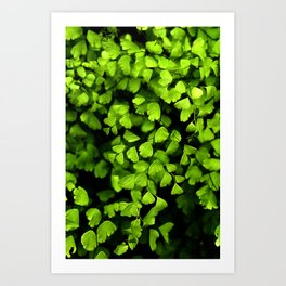 Maidenhair Ferns Art Print