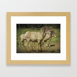 Bighorn Sheep along a Roadside in the Black Hills Framed Art Print