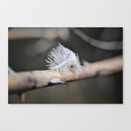 Feather caught on thorn Canvas Print