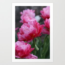 Bountiful pink tulips Art Print