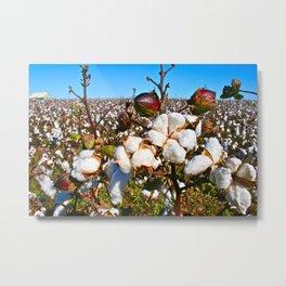 West Texas Cotton 1 Metal Print