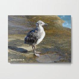 Ring-billed Gull Chick Metal Print