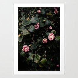 Pink Camellias Art Print