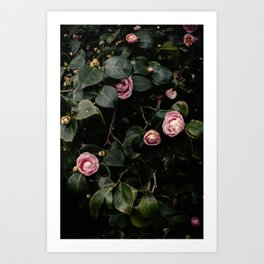 Pink Camellias Art Print
