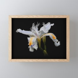 Elegant Iris Japonica / Fringed Iris Flower Framed Mini Art Print