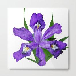 Dwarf crested Iris, Iris cristata on white Metal Print