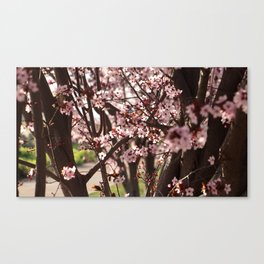 An Almond Tree in Madrid Canvas Print