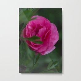 Pink Ranunculus Queen Metal Print