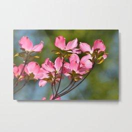 Dogwood Flowers in Spring Metal Print