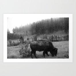 Black and White Buffalo Art Print