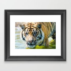Tiger in the water  Framed Art Print