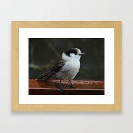 Gray Jay Framed Art Print