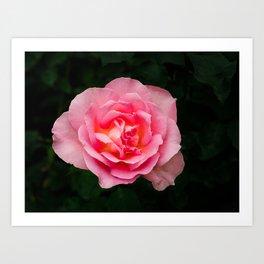 Pink TiffanyRose blooming in Summer Art Print