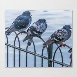 Three pigeons on railings Canvas Print