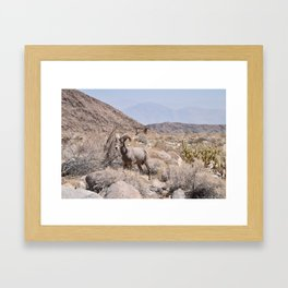 Desert Bighorn - Anza Borrego Desert, California Framed Art Print