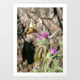 Scarce Swallowtail Butterfly and Thistle Art Print