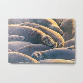 Sleeping Seals Metal Print
