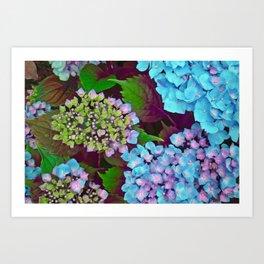 Hydrangea Pink and Blue Art Print
