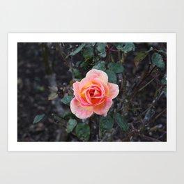 Peach & Pink Rose Art Print