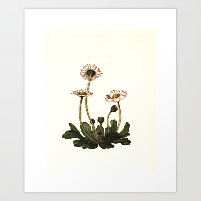 """Daisy from """"The Moral of Flowers"""" (1833) by Rebeca Hey Art Print"""
