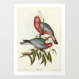 Cacatua Eos (Rose-breasted Cockatoo) illustrated by Elizabeth Gould (1804-1841) for John Goulds (180 Art Print