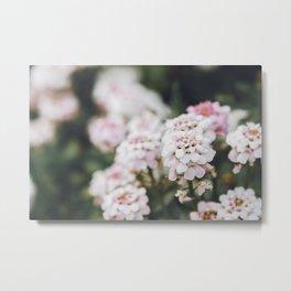 Candytufts Flower - Iberis Metal Print