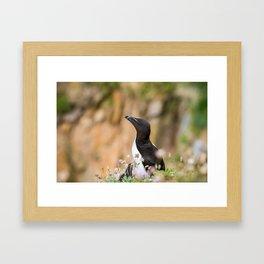 Razorbills - Ireland (RR 283) Framed Art Print