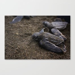 Baby Leather back Sea Turtle Canvas Print