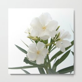 White Oleander Flowers Close Up Isolated On White Background  Metal Print
