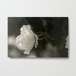 Garden Rose Flower - Original Botanical Nature Photography - Flora Art Metal Print