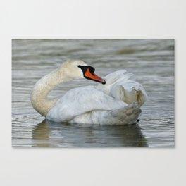 Mute Swan Preening Canvas Print