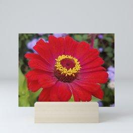 Red zinnia - blazing ring of fire Mini Art Print