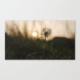 Single, wilted dandelion against blurry natural background during sunset. Canvas Print