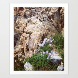 Rocky Mountain Columbine Art Print