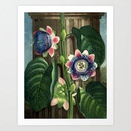 The Quadrangular Passion Flower :  New Illustration Of The Sexual System Art Print