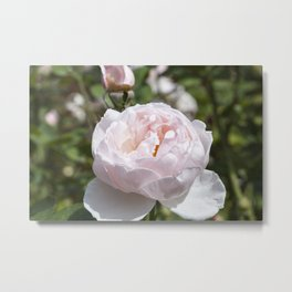 Pink Cabbage Rose Metal Print