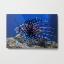 Pterois Miles (The Devil Fish) Metal Print