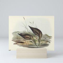 Vintage Print - John Gould - The Birds of Australia (1848) - Grey-rumped Sandpaper Mini Art Print