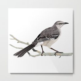Northern mockingbird - Cenzontle - Mimus polyglottos Metal Print