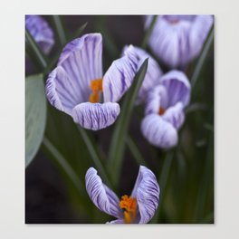 White and Purple Striped Crocuses Canvas Print