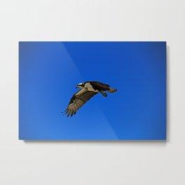 Osprey in Flight II Metal Print
