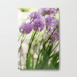 Allium - Onion Flowers 10 Metal Print