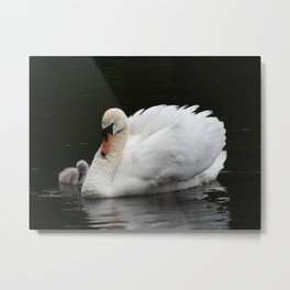 Mute Swan with Cygnet Metal Print
