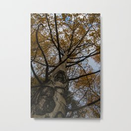 Colorado Aspen Metal Print
