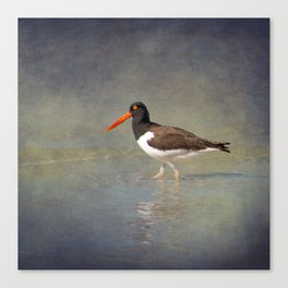 American Pied Oystercatcher Canvas Print