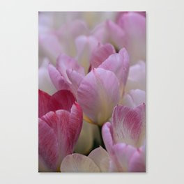 White And PinkTulip Flowers Canvas Print